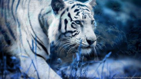 white tiger wallpapers hd pictures desktop background
