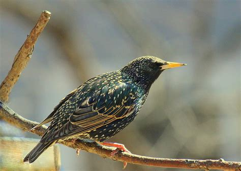 top 28 where did the european starling come from