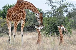 Study investigates impact of lions living alongside ...  Giraffe