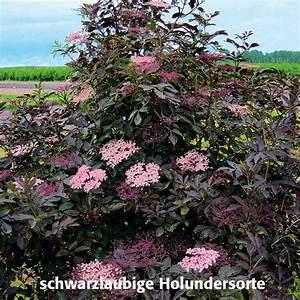 Schwarzer Holunder Black Beauty : duft holunder black beauty 2 garten praxis ~ Michelbontemps.com Haus und Dekorationen