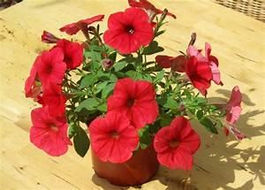Balkonpflanzen Hängend Pflegeleicht : petunia surfinia rot pflanzen versand f r die besten ~ Lizthompson.info Haus und Dekorationen