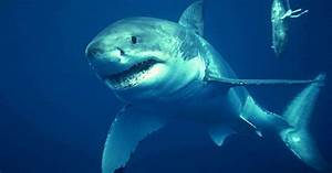 Great White Sharks Are Swimming In Our Waters Now  Says