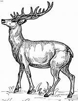 Deer Coloring Pages Printable Print sketch template