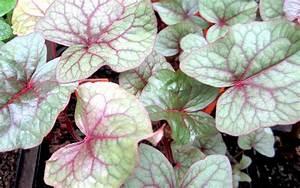 Japanischer Spinat Pflanze : baum spinat pflanze fagopyrum cymosum spinat salbei s holz pflanzen saatgut ~ Frokenaadalensverden.com Haus und Dekorationen