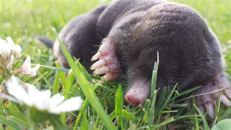 Maulwurf Im Garten So Laesst Er Sich Vertreiben by Maulwurf Vertreiben Was Im Garten Wirklich Hilft