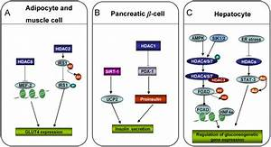 The role of HDACs in the regulation of glucose metabolism ...