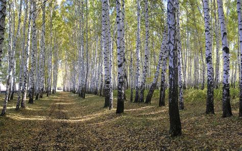 Birch Woods Wallpaper Wallpapersafari