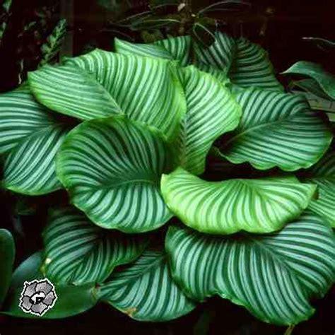 calathea orbifolia calathea  maranta pinterest plants