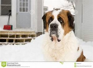 saint bernard dog outside in winter stock image image of With st bernard dog house