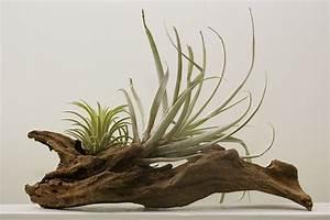 KIT 3 PIANTE DI TILLANDSIA pianta dell' aria antismog pianta tillan