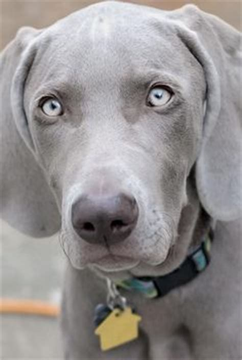 weimaraner puppy i ve never had one but i just love that