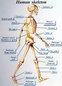 Human Skeletal System Assignment Help  Biology Assignment Help