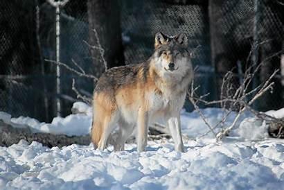 Wolf Wallpapers Gray Grey Desktop Wolves Ravens