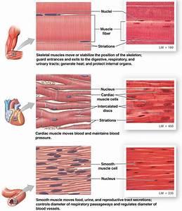 Histology Of Tissues