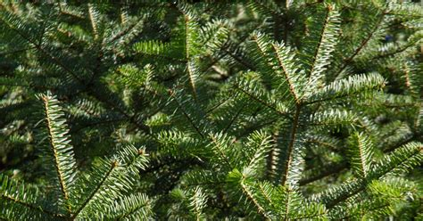 christmas tree has musty smell candles that smell like pine trees popsugar home australia