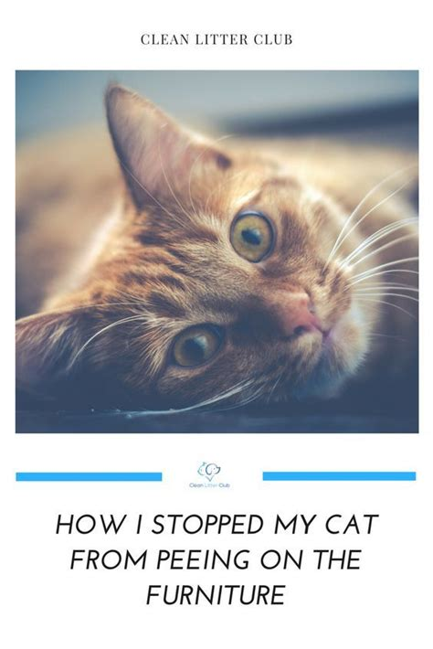 stopped  cat  peeing   furniture cat