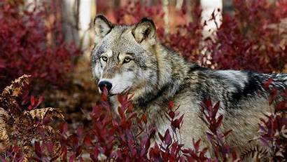 Autumn Wildlife Wolf Animal Animals Wild Wolves