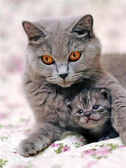 Cat Shorthair British Cats Kitten Kitty Kittens