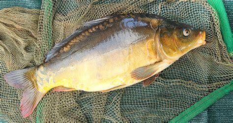 cuisiner une carpe guide des poissons peut on consommer la carpe