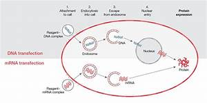 Neurobiology Transfection Guide