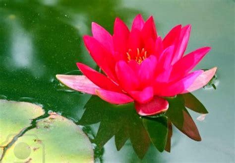 Lotus flowers Wallpapers - beautiful desktop wallpapers 2014