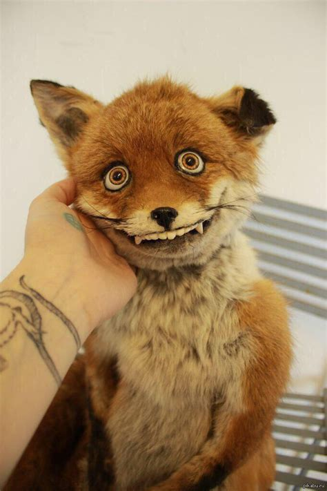 Taxidermy Fox Meme - funny fox taxidermy made me laugh pinterest funny eyes and love