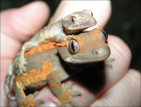 Crested Gecko Shedding Info by Meet The Crested Geckos Jonathan S Jungle Roadshow