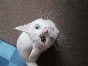 Pure white female kitten/cat with blue& green eyes ...