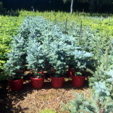 wholesale christmas trees newlands nursery and garden
