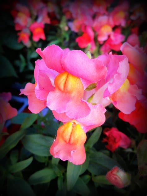 snap dragons snapdragons flower favorites and plants pinterest