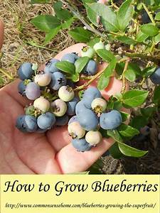 How To Grow Blueberries Growing The Superfruit