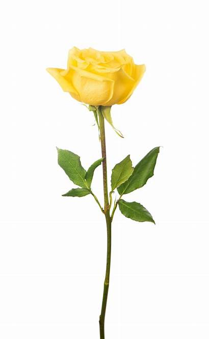 Rose Yellow Meaning Background Single Isolated Roses