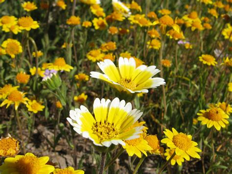 flowers in california survival odds grim for native plants fighting invaders