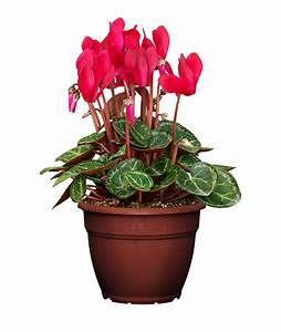 Easy Instructions On How To Care For Cyclamen Houseplant