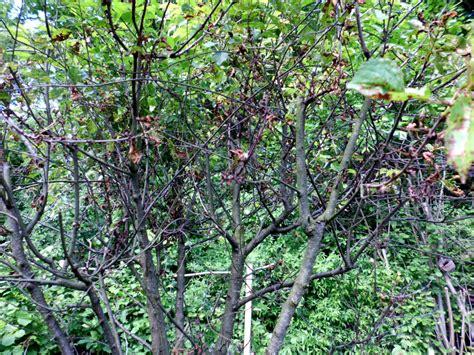 feige blätter braune flecken braune pilze im rasen pilze im rasen loswerden ursache und abhilfe pilze im rasen bek mpfen