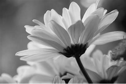 Daisy Desktop Flowers Wallpapers Wallpapersafari 4k Side