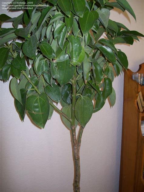 indoor tree plants plant identification closed indoor tree id please 1 by barbiejp
