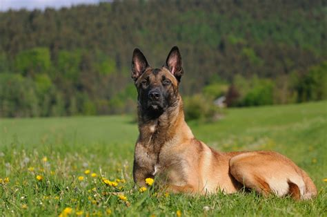 belgian malinois shedding belgian malinois dogs puppies names breeds and