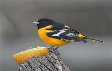 attracting orioles birds pinterest