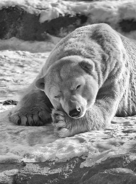 dont   polar bears   domesticated id