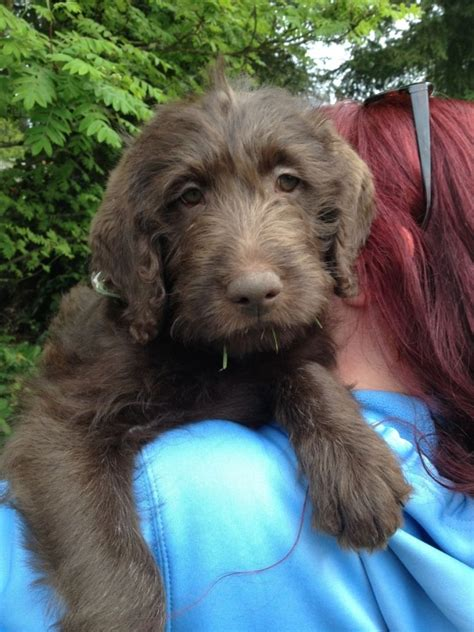 do f1 sheepadoodles shed non shedding breeds happy healthy puppy breeds