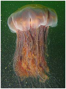 Bioluminescence Bioluminescent Jellyfish