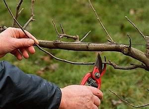 Comment Tailler Les Orchidées Pour Qu Elles Refleurissent : planter un espalier ou une palmette chez vous ma ~ Melissatoandfro.com Idées de Décoration