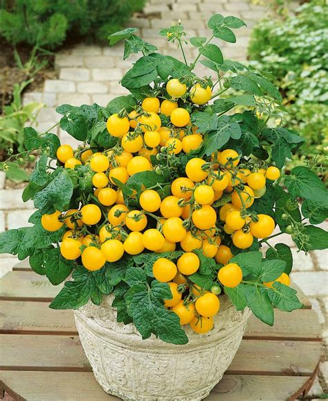 Fruits are borne in clusters. Tomato Patio Choice Yellow F1 | All-America Selections