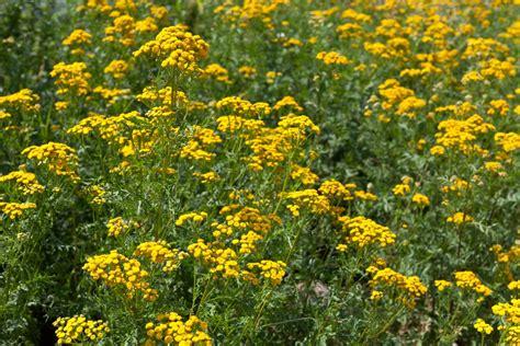 fleur anti moustiques liste ooreka