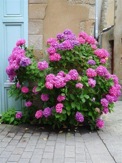 arbustes à fleurs arbustes