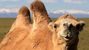 Course De Chameau : les animaux embl matiques de mongolie voyage mongolie ~ Medecine-chirurgie-esthetiques.com Avis de Voitures