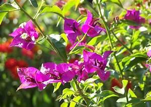 Bougainvillea Blüht Nicht : bougainvillea glabra drillingsblume mit eigent mlichen ~ Lizthompson.info Haus und Dekorationen