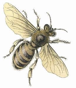 Vintage Stock Image - Honey Bee - The Graphics Fairy