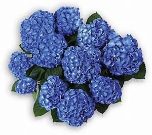 Blaudünger Für Hortensien : ph wert alaun co so stimmt die chemie hortensiahortensia ~ Michelbontemps.com Haus und Dekorationen